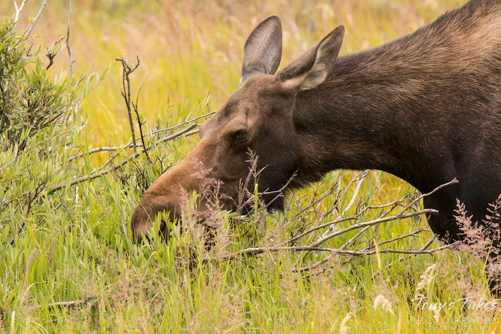 A female Moose grazes on the west side of Rocky Mountain National Park. (© Tony's Takes)