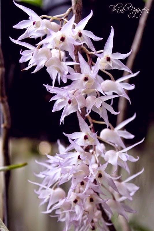 Hoàng thảo hương vani là một loại hoa lan thân thòng, cây rất dài khoảng trên 1-1.7 m