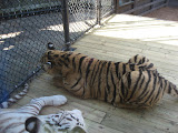 TIGERS Preservation Station - Myrtle Beach - 040510 - 09