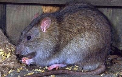 Đặc tính sinh học và sinh sản của chuột cống