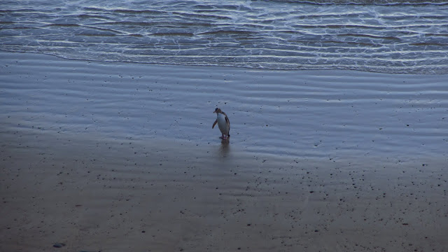 A yellow-eyed penguin returning from a day fishing.