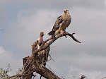 Tawny eagle and Rüppell's vulture