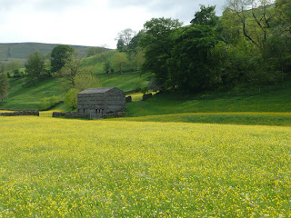 A barn and a host of yellow buttercups