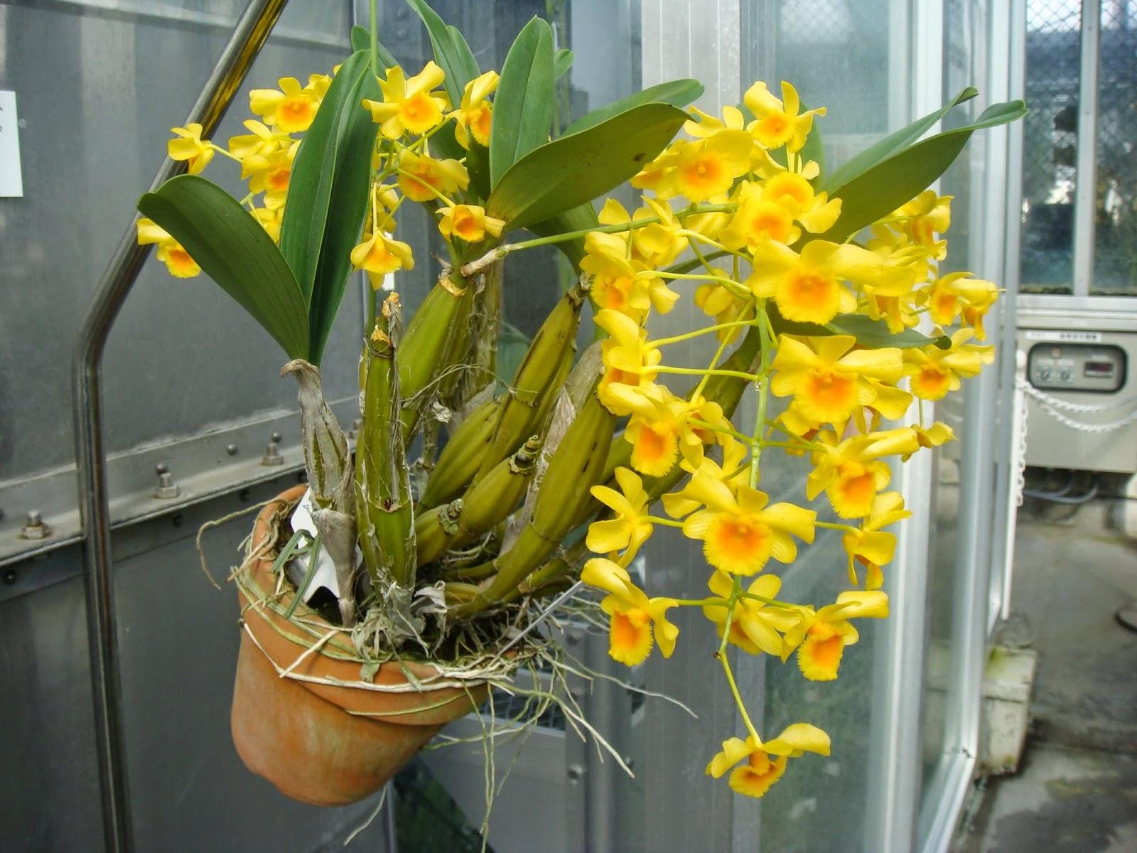 Hoàng lạp Lào có hoa chùm vàng rực rỡ khá giống hoàng thảo Vảy Rồng