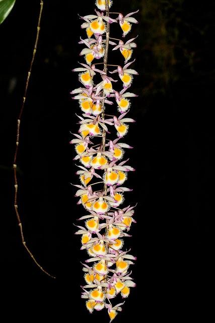 Hoàng thảo tam bảo sắc nở hoa làm người chơi mãn nhãn