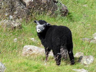 A black lamb (well almost!!)