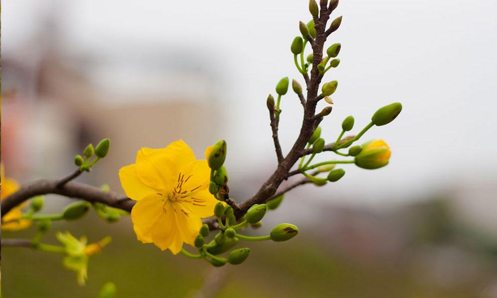 ảnh hoa mai chất lượng cao