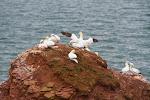 Brutkolonien auf Helgoland - Basstölpel