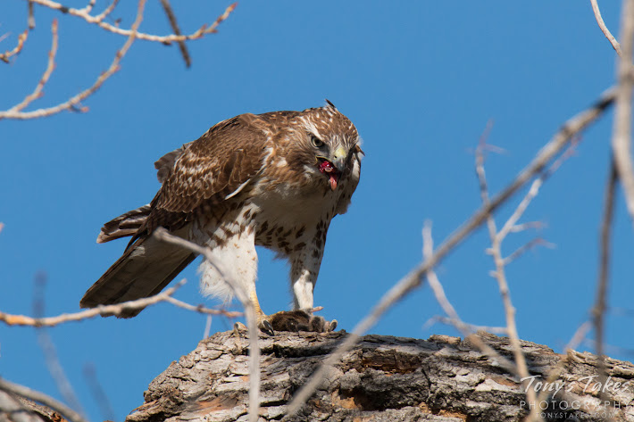 A Red Tailed Hawk devours its meal.   (© Tony's Takes)