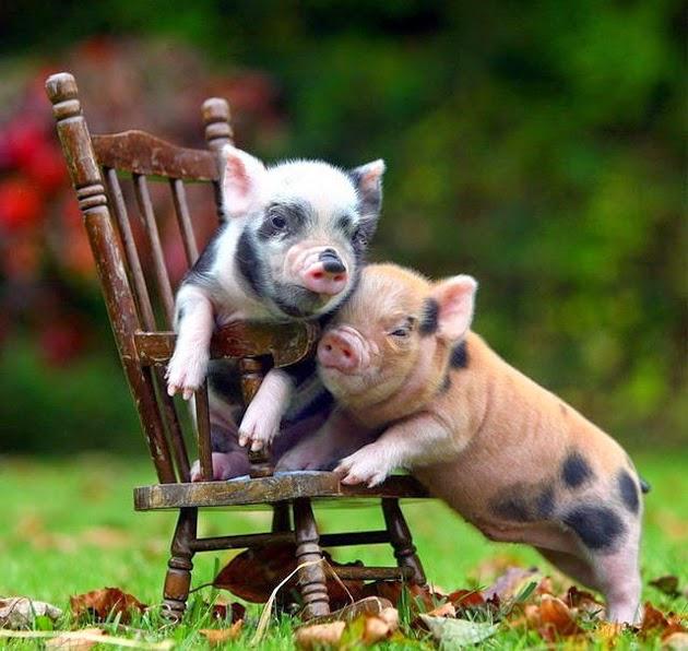 椅子の上でじゃれ合う豚の赤ちゃん