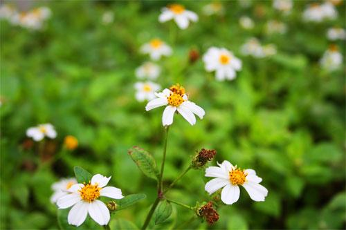 Bộ ảnh hoa Xuyến Chi đẹp nhất