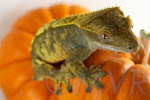 Lavendar harlequin female crested gecko from moonvalleyreptiles.com