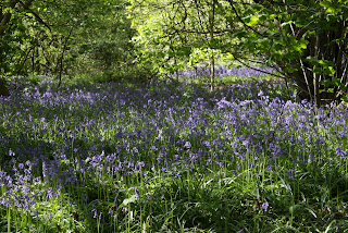 Lots and lots of bluebells