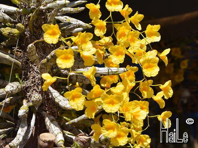 Hoa lan, phong lan rừng