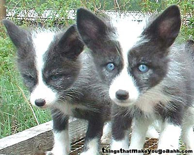 Domestikovaná forma sibírskej striebornej líšky