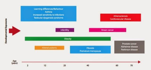efectos a largo plazo de los disyuntores endocrinos