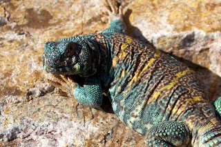 The Dude - Ornate Uromastyx from moonvalleyreptiles.com