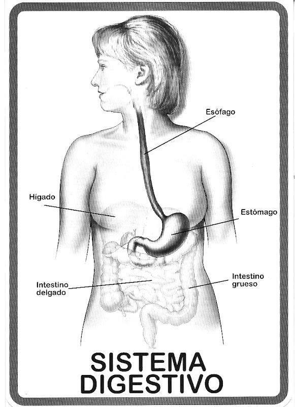 Del Sistema Digestivo Para Colorear Dibujos Del Sistema Digestivo