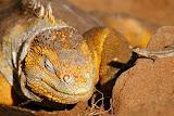 Land Iguana with a Little Friend