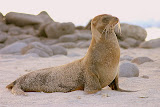 Sea Lion Lounging in the Sand