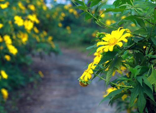 Bộ ảnh hoa Dã Quỳ nở vàng tuyệt đẹp