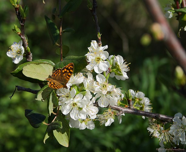 Brown-and-yellow butterfly on apple tree flower