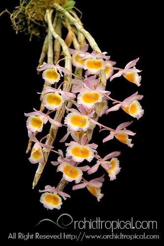 Long tu Lào vẫn là loại phong lan được người chơi yêu thích