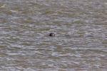 ziemlich weit weg: die Robbe