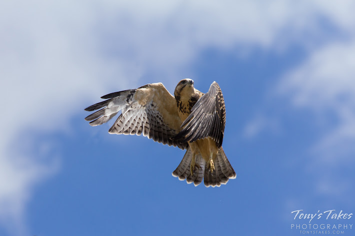 A juvenile Swainson's Hawk launches itself into the air.  (© Tony's Takes)