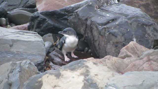 A little blue penguin, calculating his next step.