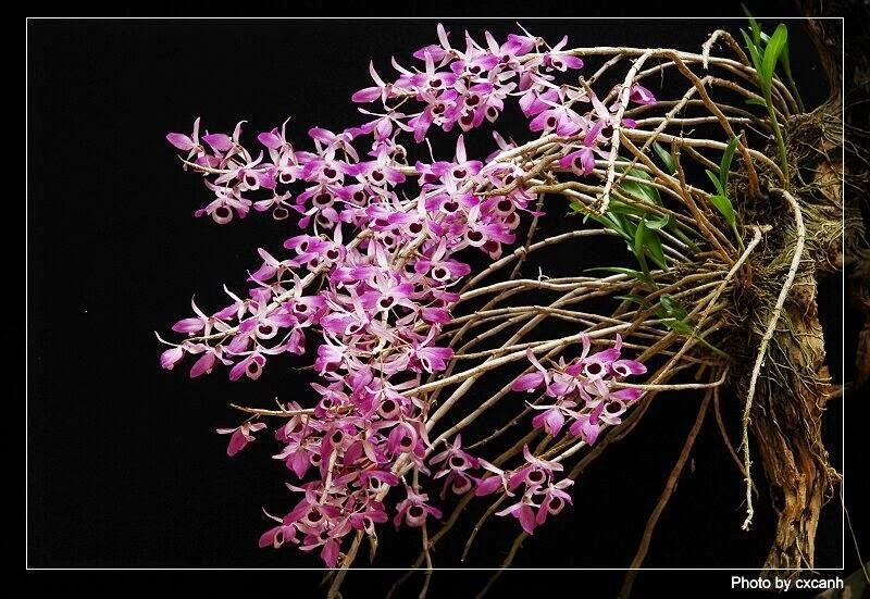 Hoàng thảo kèn có thân cây căng tròn, nhẵn bóng, thon nhọn dần về phía đầu ngọn, đôi khi đốt thân thắt hình thoi rất nhẹ