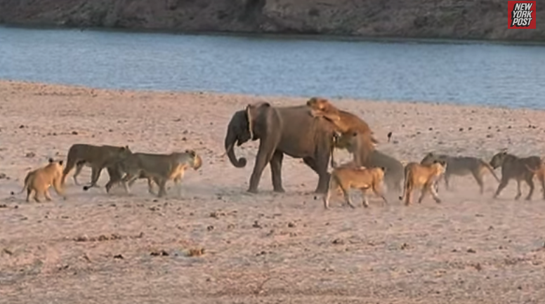 young elephant use water to escape from 14-lion attack