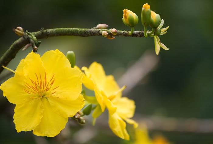 tìm kiếm ảnh hoa mai đẹp nhất