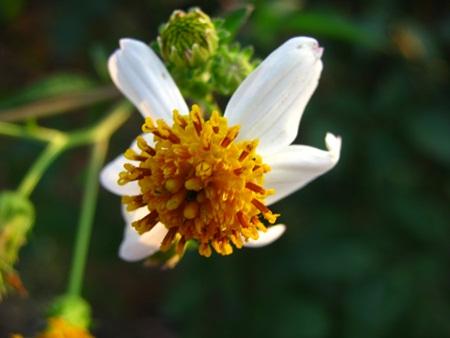 Ảnh hoa xuyến chi trắng