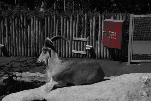 taronga zoo sydney australia mountain goat fire hose reel