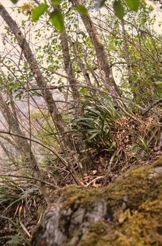phong lan rừng