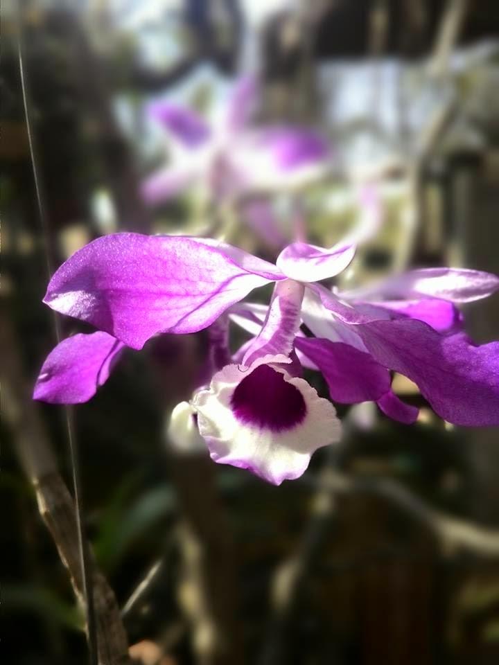 Hoàng thảo kèn là giống phpng lan xuất xứ Lai Châu