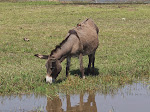 Red-billed oxpecker on a donkey at Bishangari