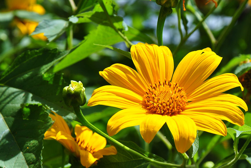 ảnh hoa dã quỳ thật đẹp
