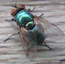Espalda de la mosca