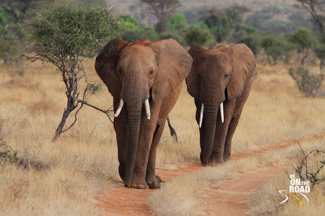 African Elephants March