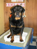 Buddha - Happy Tails for this Wonderful Rottie Boy!