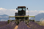 Lavender Harvesting Machine (July 2011, WineInProvence)