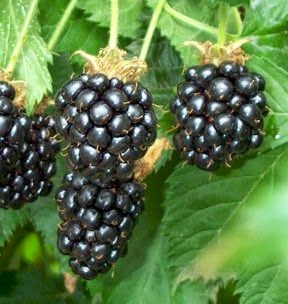 Black Berries Fruit Benefits