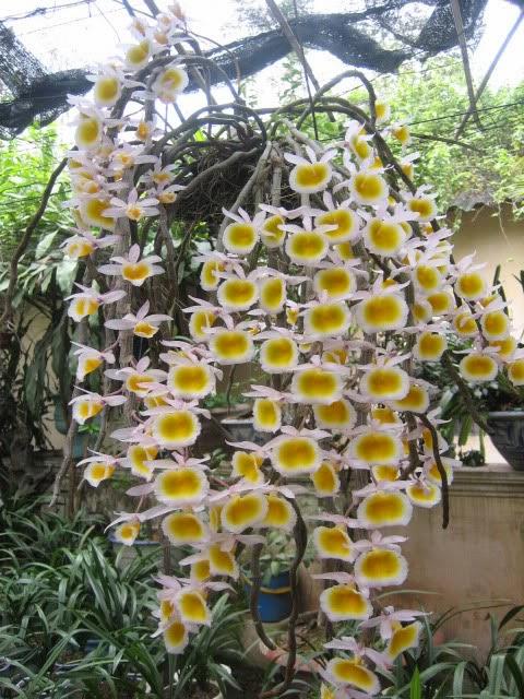 Long tu Lào hoa cánh hồng họng vàng có mùi thơm hấp dẫn