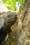 Żółwie na La Digue.