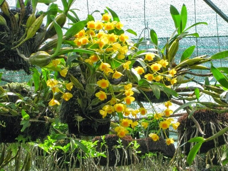 Hoàng lạp Lào không có mùa nghỉ nên ít rụng lá