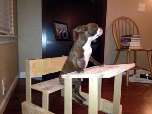 Ảnh cún con ngồi vào bàn học