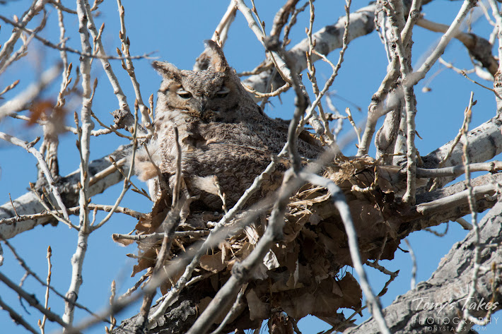 A Great Horned Owl naps on her nest in Thornton, Colorado.  (© Tony's Takes)