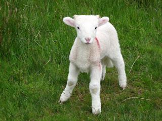 A brave little lamb.